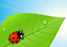 Free Ladybird On Leaf Stock Photography - 13672542