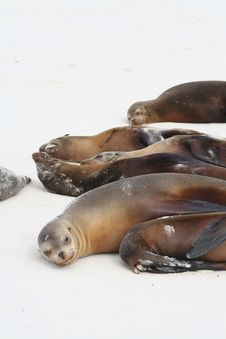 Free Sea Lions Royalty Free Stock Photo - 13672705