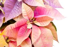 Free Poinsettia Royalty Free Stock Images - 13673169