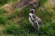 Free Humboldt Penguin Stock Photo - 13674200