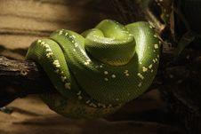 Free Snake Royalty Free Stock Photos - 13674748