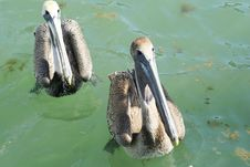 Free Twin Pelicans Royalty Free Stock Images - 13674809