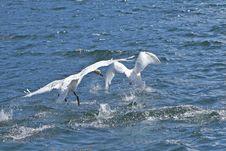 Free Swans Landing Royalty Free Stock Image - 13675386