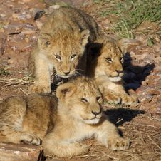 Free Lion Cubs Sunning In Early Morning Light Royalty Free Stock Photos - 13675538