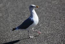 Free The Sea Gull Stock Photo - 13675900
