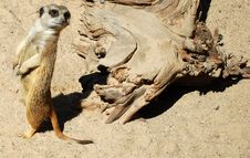 Free Meerkat Stock Image - 13676111