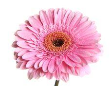 Free Pink Gerbera Royalty Free Stock Images - 13676339