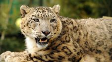 Free Leopard Snow Stock Photos - 13677723