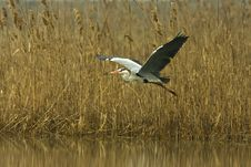 Free Great Grey Heron / Ardea Cinerea Royalty Free Stock Image - 13679506