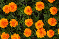 Free Orange Flowers Royalty Free Stock Image - 13681836