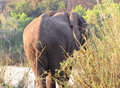 Free African Elephant Stock Photo - 13681940