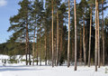 Free Pine Forest In Winter Time Stock Photo - 13689860