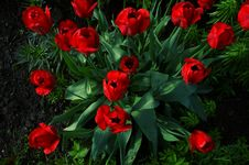 Free Top View On Tulips Stock Photo - 13680060