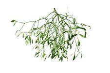Free Mistletoe On White Background Stock Photography - 13680332