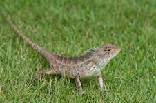 Free Garden Lizard Stock Photo - 13680830