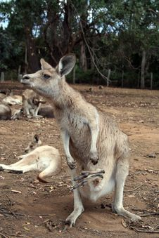 6 Legs Kangaroo Royalty Free Stock Photo