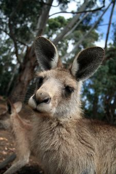 Curious Kangaroo Royalty Free Stock Photography