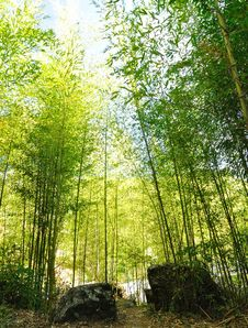 Free Bamboo Forest Royalty Free Stock Photos - 13682558