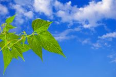 Free Green Leaves. Sky With Clouds. Royalty Free Stock Images - 13683349