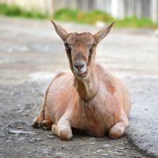 Free Goat Royalty Free Stock Photo - 13683505