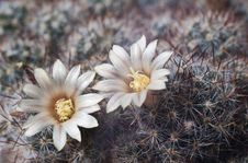 Free Blossoming Cactus Royalty Free Stock Photo - 13683885