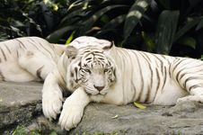 Resting White Tiger Royalty Free Stock Photography
