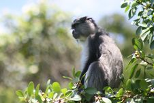 Free Samango Monkey Sitting In Tree Stock Photos - 13684383