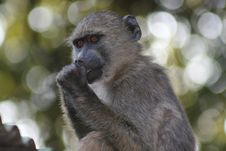 Free Baboon Stock Photography - 13684412