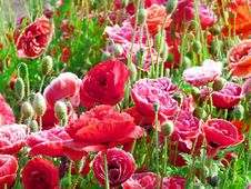 Free Red Poppies Royalty Free Stock Photo - 13684595