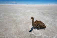 Rhea On Salt Flats In Bolivian Andes Royalty Free Stock Image