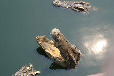 Free Crocodiles In Thailand Stock Image - 13685971