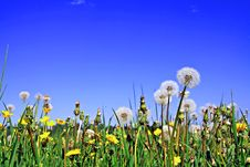 Free Dandelions On Field Stock Photography - 13686182