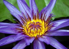 Free Water Lily Royalty Free Stock Image - 13686466