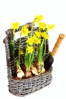 Yellow Narcissuses In Wattled Basket