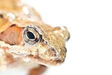 Free Portrait Of Frog Stock Photography - 13686472