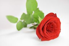 Rose Conceptual Image. Royalty Free Stock Images