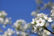 Free Spring Bloom Royalty Free Stock Image - 13689006