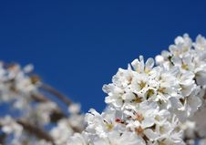 Free Spring Bloom Royalty Free Stock Images - 13689009