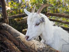 Free Rustic Goat Stock Photography - 13689632