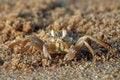 Free Brown Crab Royalty Free Stock Image - 13694326