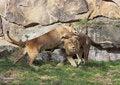 Free Cuddling Lion Couple Royalty Free Stock Image - 13697046