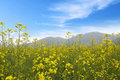 Free Rape Field Royalty Free Stock Photo - 13698565