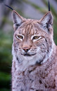 Free Lynx Bobcat Close Up Stock Image - 13698761