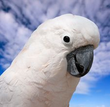 Free Cockatoo Stock Photo - 13691400
