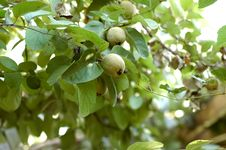 Free Young Quince Tree Stock Image - 13691701