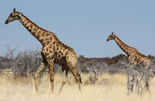 Free Group Of Giraffes Royalty Free Stock Image - 13692146