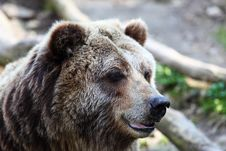 Free Grizzly Bear Stock Photos - 13692433