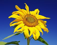 Free Sunflower Stock Image - 13692881