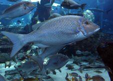 Free Big Fish Stock Images - 13692984