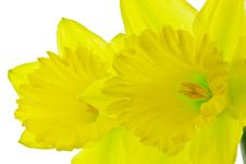 Free Pair Of Daffodils 2 Royalty Free Stock Photos - 13693418